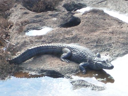 argentine    .Crocodile m